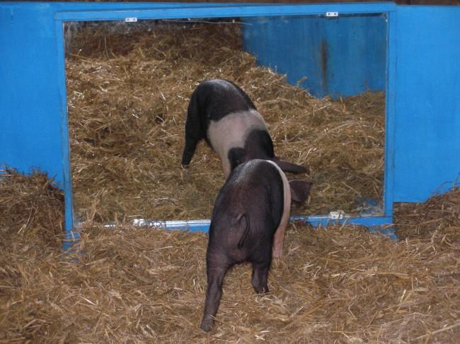 브룸 교수의 연구 중 하나. 돼지가 거울에 비친 상을 이해하는지를 실험하고 있다. 몇 번의 시행착오 뒤에, 완벽히 거울 속 공간을 이해했다고. - 도널드 브룸 제공